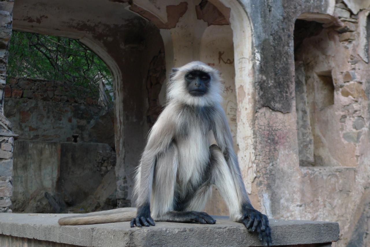 Rajasthan – Temple des singes Jaipur –  Inde – épisode3