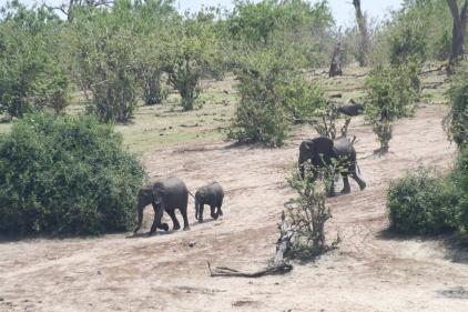 Botswana 3 chobe river et savute nov 2008 391