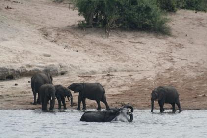 Botswana 3 chobe river et savute nov 2008 403
