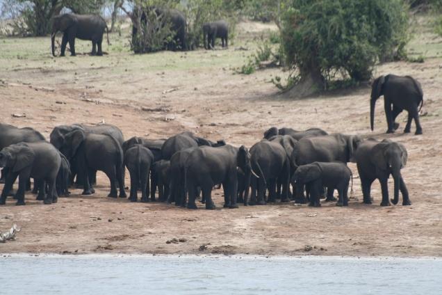 Botswana 3 chobe river et savute nov 2008 405